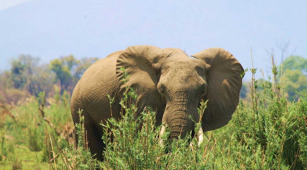 elephant on the banks of the zambezi at Kingfisher fishing lodge