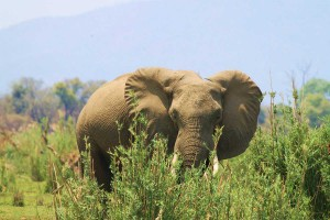 elephant on the banks of the zambezi at Kingfisher fishing lodge